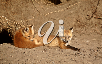 Red Fox pups outside their den