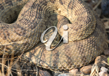 Rattlesnake curled beside a Saskatchewan road