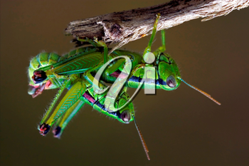 close up of two grasshopper having sex