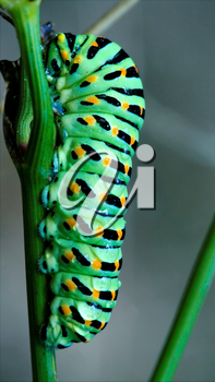 wild caterpillar of Papilio Macaone  on a green fennel branch