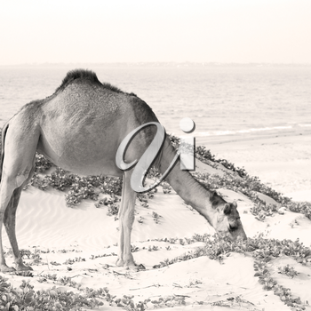 in oman empty quarter of desert a free dromedary near the  sea