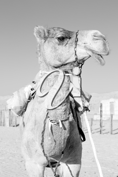 dromedary near the sky in oman empty quarter of desert a  free