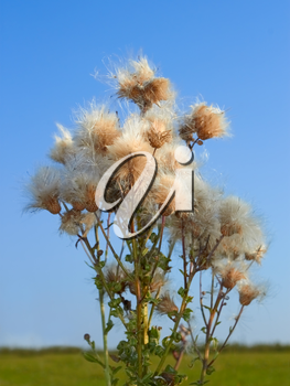 Thistle plant with lots of mature seeds on the background of field and sky