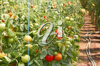 Many ripening tomatoes in soil ground greenhouse
