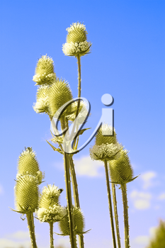 Flowering of Common Teasel close up against blue sky. In Latin: Dipsacus sylvestris, family Dipsacaceae