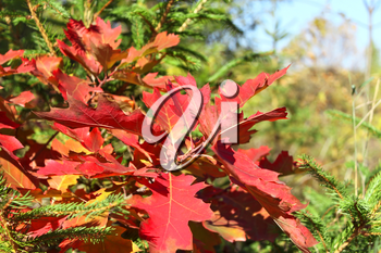 Bright red oak leaves on the background of fir tree branches in autumn season