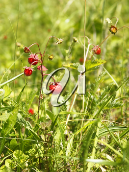 Ripe red berries of wild strawberry (Fragaria vesca) in the meadow among the motley grass, close-up