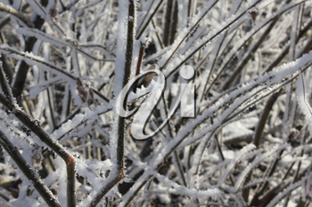A snow-covered and frozen shrubbery 30405