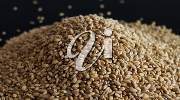 Pile of wholegrain of pearl barley or wheat spill on black background. Agriculture food raw seed. Closeup macro photo