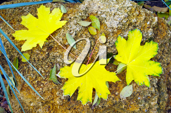 Top view of several big and small yellow autumn leaves lie on a big limestone in the park. Selective focus.