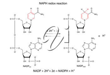 Illustration of NADP redox reaction with chemical formulas with marked variable fragments, vector, isolated on white