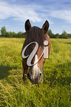 A horse grazes on a meadow in sunny day, outdoors shot