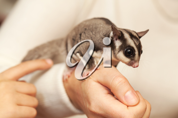 Sugar glider. Petaurus breviceps, arboreal gliding possum seats on hands