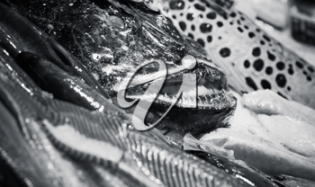 Angler fish and other seafood lay on counter in fish shop, black and white photo with selective focus
