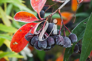 Chokeberry fruits covered with hoarfrost, macro photo with selective focus