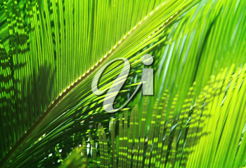 Fresh green palm leaves in the sunshine. Tropical nature background