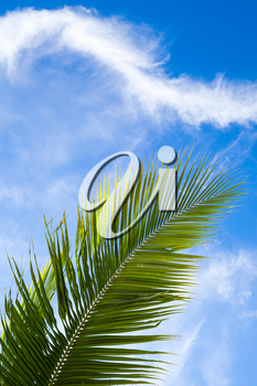 Coconut palm tree leaf over blue cloudy sky background