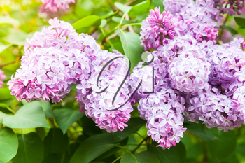 Pink lilac flowers, flowering woody plant in summer garden