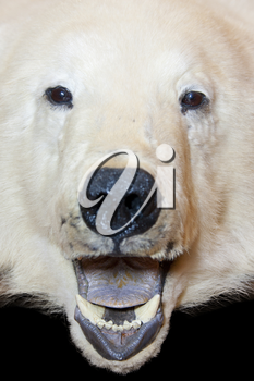 Angry polar bear open mouth. Isolated
