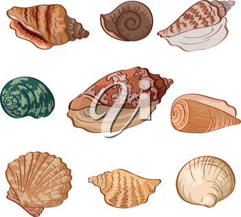 Set different seashells isolated on white background. Vector