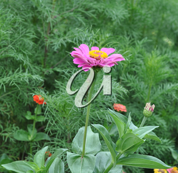 Flowers Zinnia with green leaves