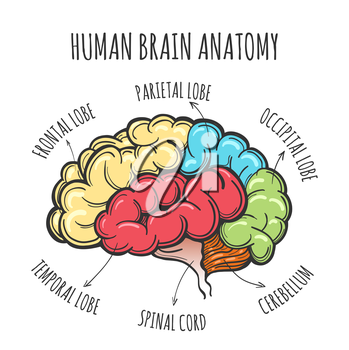 Main parts of the human brain. Human Brain in sketch style. Vector illustration