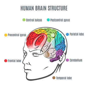 Structure of the human brain. Human head with brain inside. Human brain main parts. Vector illustration.