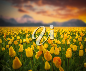 Rows of yellow tulips in countryside. on a background of mountains and the sunset