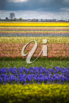 Fields of hyacinths of different colors grow in the Netherlands in the spring