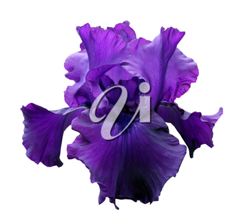 gorgeous blooming violet iris, isolated flower on white background close-up