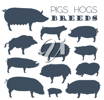 Pigs, hogs breed icon set. Flat design. Vector illustration