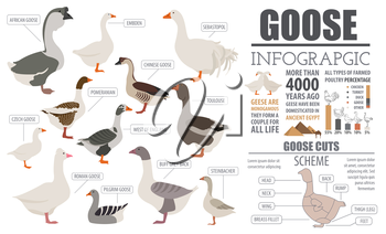 Poultry farming infographic template. Goose breeding. Flat design. Vector illustration