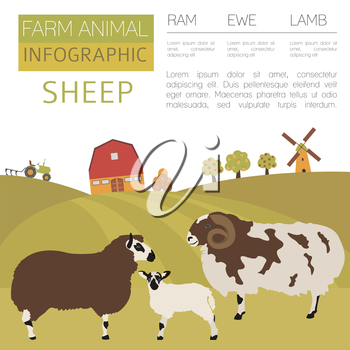 Sheep farming infographic template. Ram, ewe, lamb family. Flat design. Vector illustration