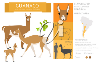 Camelids family collection. Guanaco graphic design. Vector illustration
