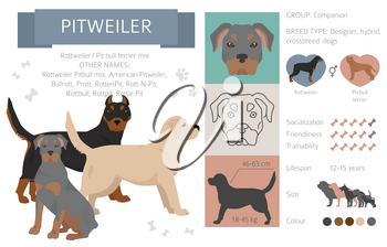Designer dogs, crossbreed, hybrid mix pooches collection isolated on white. Pitweiler flat style clipart infographic. Vector illustration