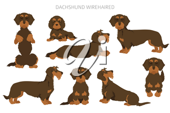 Dachshund wire haired clipart. Different poses, coat colors set.  Vector illustration