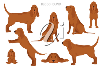 Bloodhound clipart. Different coat colors and poses set.  Vector illustration