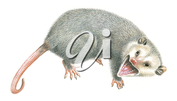 Royalty Free Clipart Image of a Possum