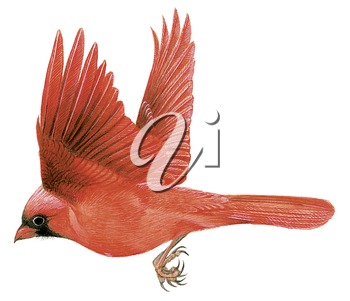 Royalty Free Clipart Image of a Red Cardinal