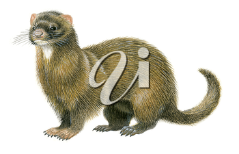 Royalty Free Clipart Image of a Ferret