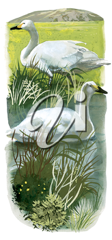 Royalty Free Clipart Image of Swans at a Pond