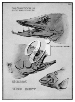 Royalty Free Clipart Image of Fish Heads to Eyes