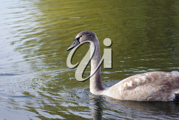 Young swan floating in a pond. Selective focus.
