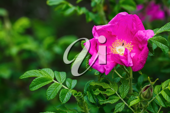 Pink wild rose flower on green foliage background. Shallow depth of field. Selective focus.