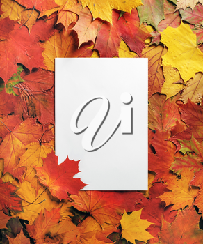 Blank letterhead and autumn maple leaves. Flat lay.