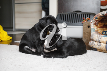 Two puppies sitting on soft carpet. Little black dogs are resting. Selective focus.