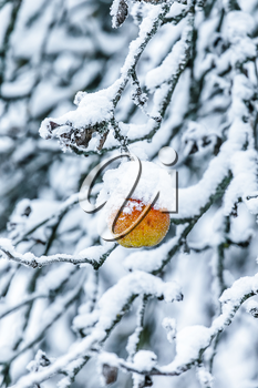 Lonely Apple on a branch covered with snow stock photo
