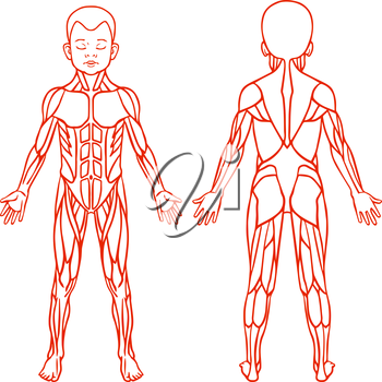 Anatomy of children muscular system, exercise and muscle guide. Child muscle vector outline clipart, front and back view.