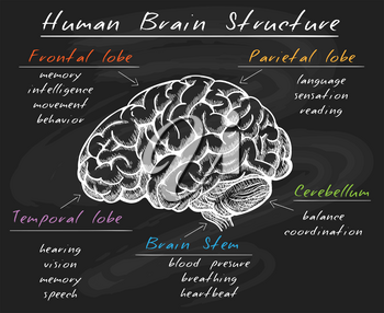 Cerebrum diagram. Biology human head brain structure, cerebral sections on chalk board vector illustration