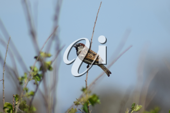 Sparrow on a branch of a currant. Photographing birds at telephoto.